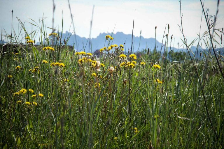 flors grogues amb montserrat al fons