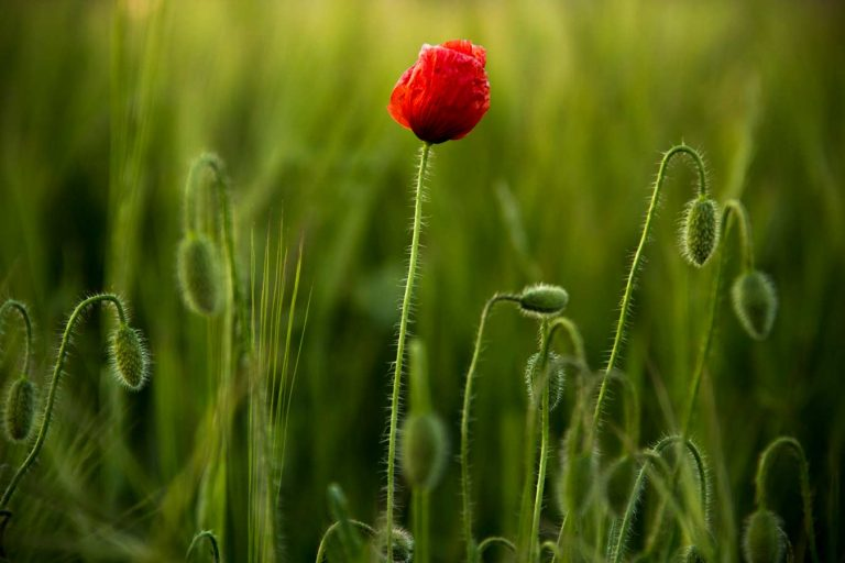 flor de primavera la més bella de tot l'any