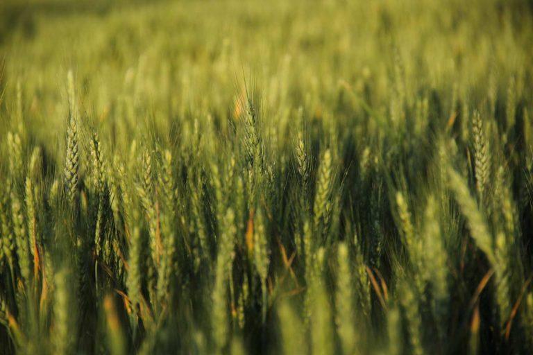 camp de blat amb espigues verdes primavera
