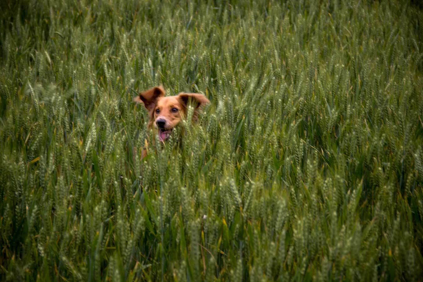 gos corrent per un camp de blat