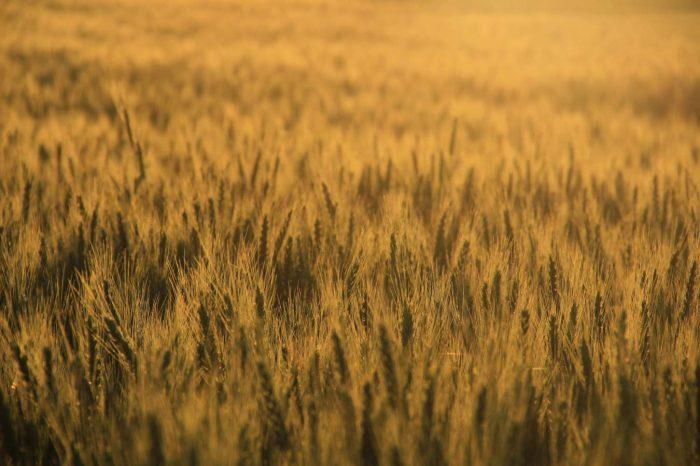 groc verd camp de blat llum capvespre